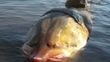 Loài cá tầm tiến Vua khổng lồ nặng cả tấn, sắp tuyệt chủng