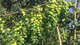 Biến cây táo dại đầy gai thành đặc sản thu 60 tỷ mỗi năm
