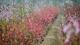Vườn đào ngập sắc hồng, nông dân thấp thỏm lo mất Tết
