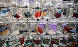 Cận cảnh cách nuôi cá chọi Việt Nam được lên báo Pháp