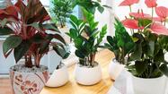 10 loại cây phong thuỷ hút tài lộc người giàu thường trồng trong nhà