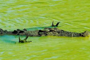 """Hài hước khoảng khắc cá sấu """"xòe quạt"""" dưới nước để săn mồi"""