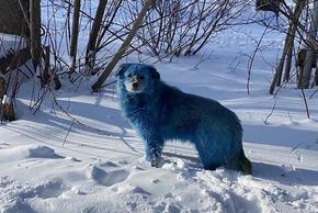 Bí ẩn về đàn chó có bộ lông chuyển sang màu hồng xanh