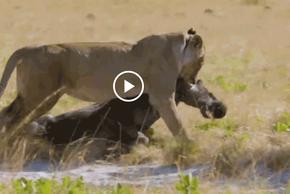Video: Linh dương đầu bò gặp thảm kịch khi chạm mặt 2 con sư tử đói