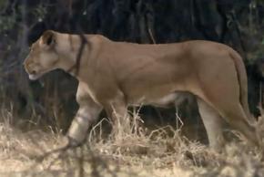 Video: Hươu cao cổ đá văng sư tử, tạo ra màn thoát chết ngoạn mục