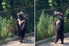 """Video: Chú gấu đen hờ hững,dạo bước đi bằng 2 chân """"ngắm cảnh"""""""