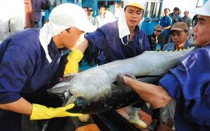 Làng câu cá ngừ đại dương kiếm 1.000 tỷ mỗi năm ở miền Trung