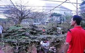 Trầm trồ cây mai cổ 160 năm tuổi, giá 1,6 tỷ