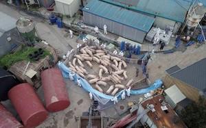 Hàn Quốc triển khai lính bắn tỉa để giết lợn bệnh từ Triều Tiên