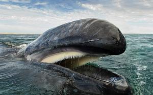 Con người có thể sống trong bụng cá voi khổng lồ?