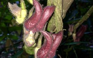 Cận cảnh loài thực vật kỳ dị mới được phát hiện ở Hà Tĩnh