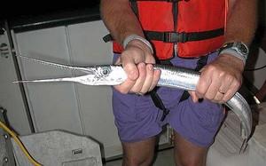 """Đâu ai ngờ loài cá mảnh mai này là """"sát thủ"""" nguy hiểm bậc nhất"""