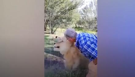 Video: Liều mạng vuốt ve sư tử, người đàn ông nhận ngay kết đắng