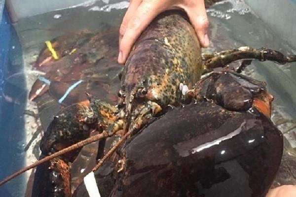 Tôm hùm Alaska nhập khẩu giá siêu rẻ đổ bộ dịp Tết