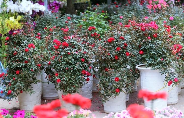 Hoa hồng đủ màu sặc sỡ, giá 500 nghìn đồng/chậu hút khách chơi Tết