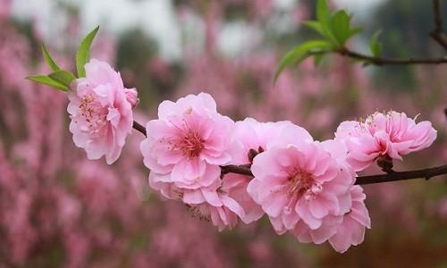 Bốn loại hoa đào chơi tết cực chuẩn