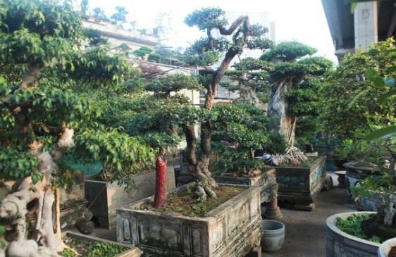Khám phá cây hải châu bonsai có dáng thế độc đáo - giáeurohômnay