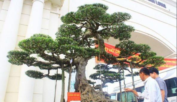 Siêu cây Long cổ đại giá 14 tỷ chủ nhân quyết không bán