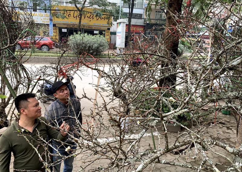 Cành mận cổ ồ ạt về Hà Nội hút dân mua chơi Tết