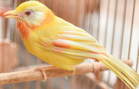Đại gia cũng không mua nổi chim ngũ sắc độc nhất Việt Nam