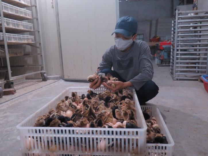 Người chăn nuôi khóc ròng vì đổ cả vạn con gà xuống ao cho cá ăn