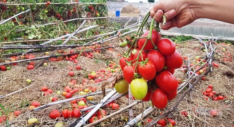 1.000 đồng 3kg cà chua, vứt thối đỏ ruộng