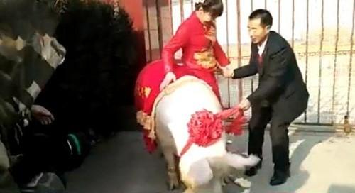 """Co dau """"cuoi"""" lon hon 600kg ve nha chong-Hinh-2"""