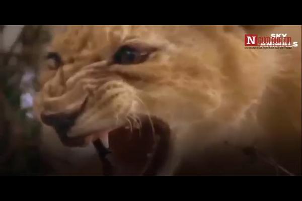 Video: Su tu con yeu ot lat keo, xoi tai tran khung