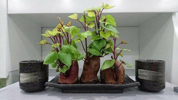 Bi quyet trong khoai lang phien ban bonsai gay sot-Hinh-2