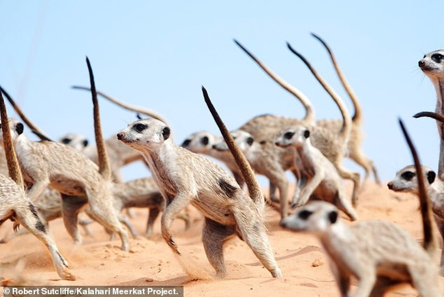 Cay meerkat tuong de thuong, gay