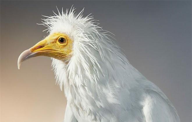 Đầu cắt moi đến râu quai nón - chùm ảnh chân dung cực nghệ của một số loài chim siêu hiếm có khó tìm - Ảnh 10.