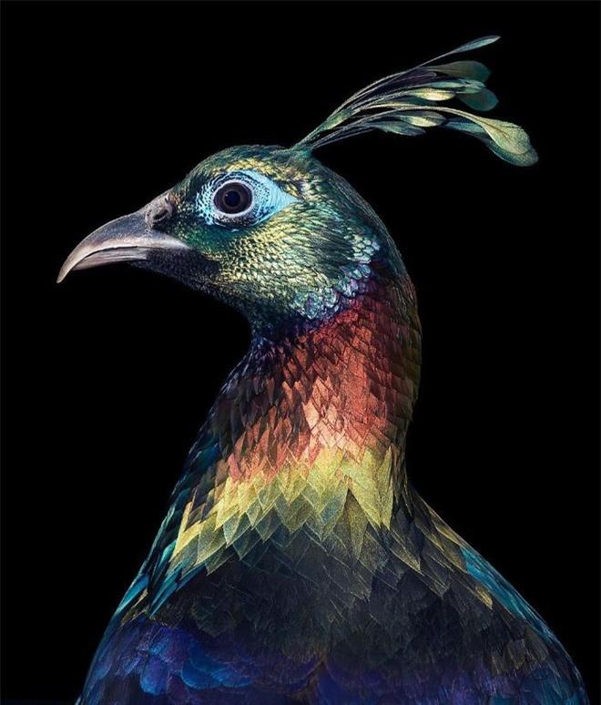 Đầu cắt moi đến râu quai nón - chùm ảnh chân dung cực nghệ của một số loài chim siêu hiếm có khó tìm - Ảnh 19.