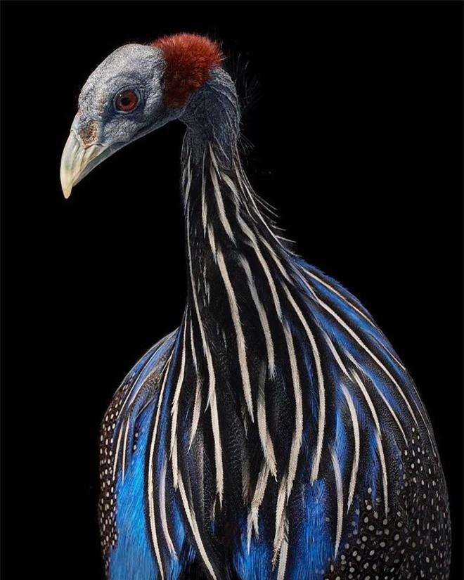 Đầu cắt moi đến râu quai nón - chùm ảnh chân dung cực nghệ của một số loài chim siêu hiếm có khó tìm - Ảnh 3.