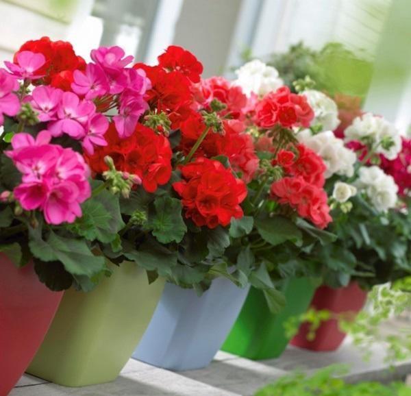 6 loai hoa cuc dep khien ruoi muoi khong dam ben mang vao nha-Hinh-4