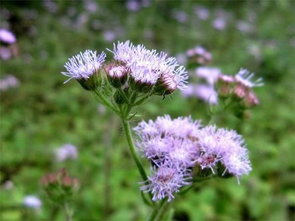 6 loai hoa cuc dep khien ruoi muoi khong dam ben mang vao nha