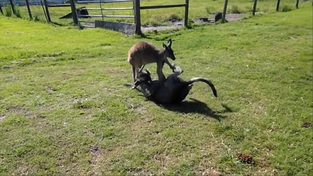Xem kangaroo va cho vat lon kich liet-Hinh-2