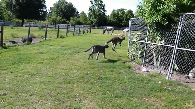 Xem kangaroo va cho vat lon kich liet-Hinh-4