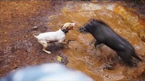 Khiep dam dau truong cho pitbull tu chien lon rung