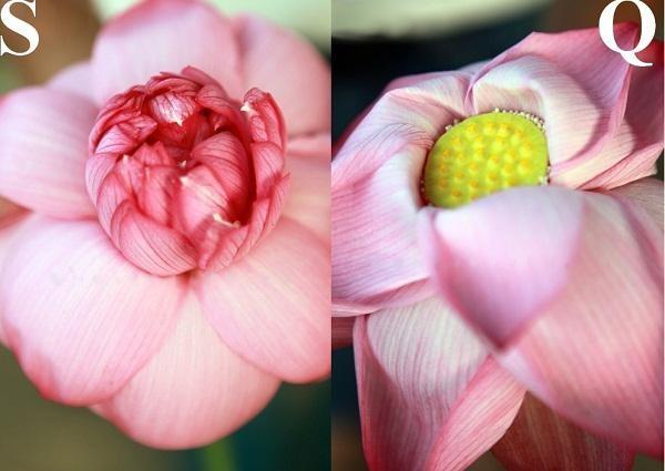 Phan biet hoa sen va hoa quy chi voi cach don gian