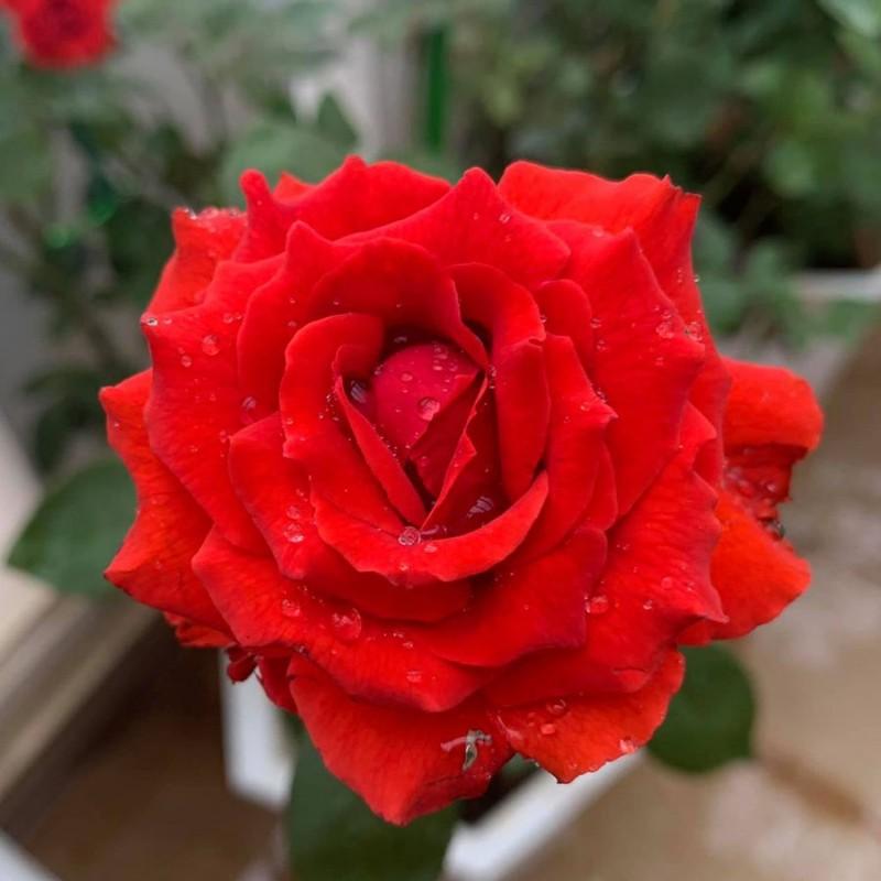 5 loai hoa hut tai loc, cuoi nam nen bay trong nha de them sung tuc-Hinh-2