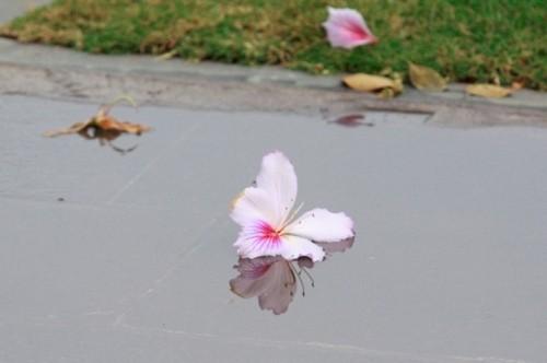 Hoa ban tim khoe sac xuan giua long Thu do Ha Noi-Hinh-10