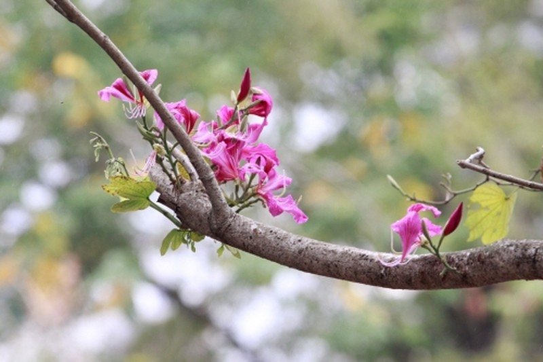 Hoa ban tim khoe sac xuan giua long Thu do Ha Noi-Hinh-3