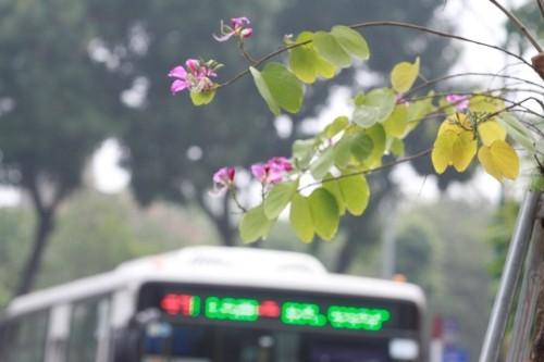 Hoa ban tim khoe sac xuan giua long Thu do Ha Noi-Hinh-5