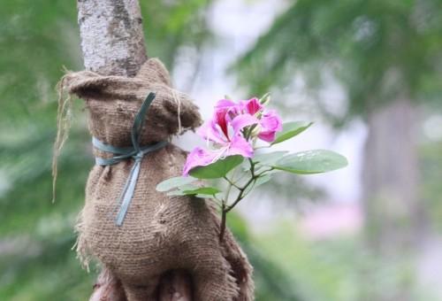 Hoa ban tim khoe sac xuan giua long Thu do Ha Noi