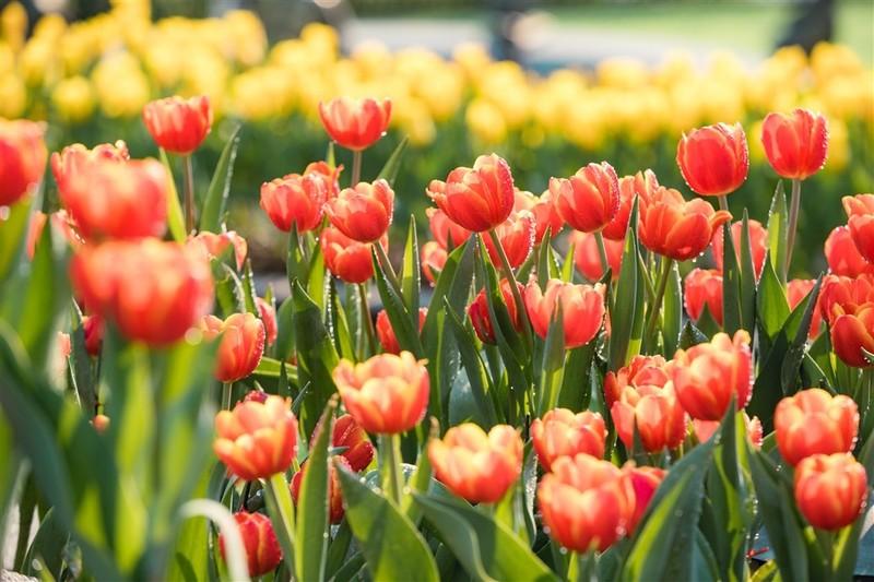 """Me mai giua """"doi"""" tulip ngat ngao huong sac tai Ba Na-Hinh-6"""