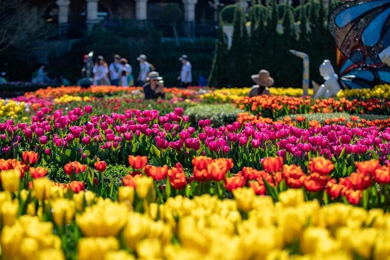 """Me mai giua """"doi"""" tulip ngat ngao huong sac tai Ba Na-Hinh-7"""