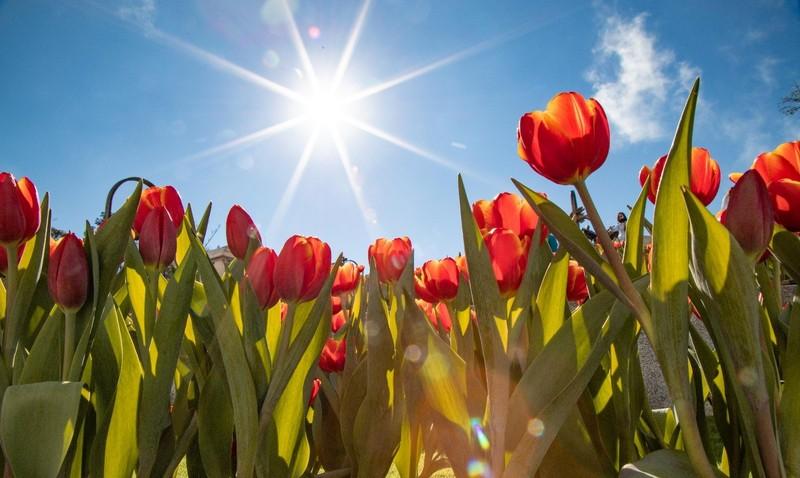 """Me mai giua """"doi"""" tulip ngat ngao huong sac tai Ba Na-Hinh-8"""