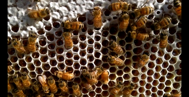 Ky dieu to ong tu dong thu hoach mat ong