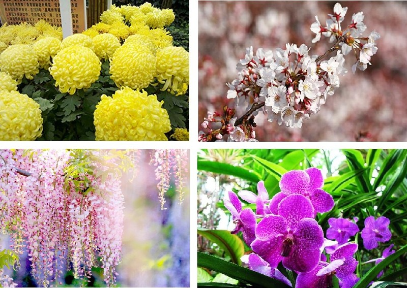 Vi sao nguoi Nhat Ban goi hoa anh dao la Sakura?