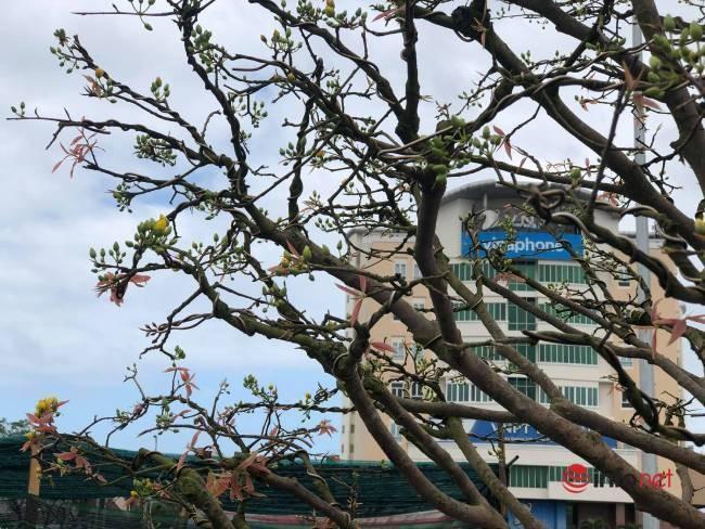 Chiêm ngưỡng những cây mai khủng giá bạc tỷ ở Đà Nẵng